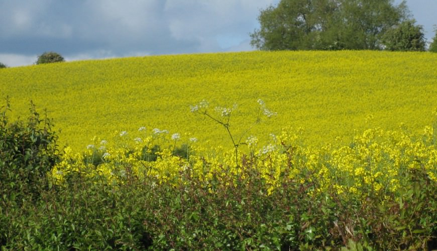 Oil seed rape field driver tour2